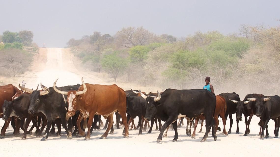 Herd of black and brown cattle with one person moving down a dirt road