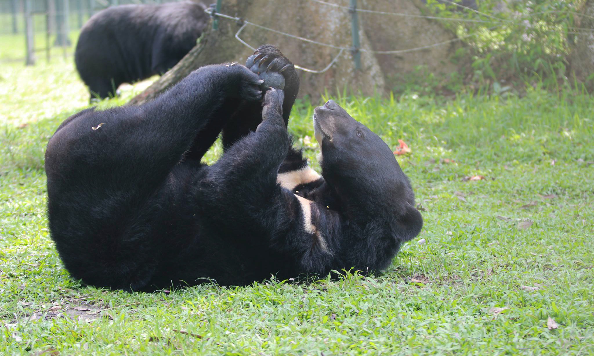 Animals Asia's Angus moon bear
