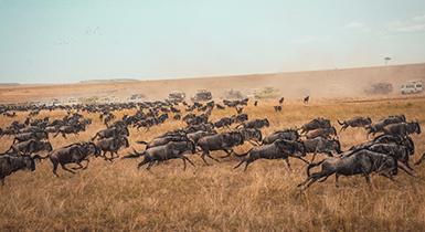 Bison running across a plain